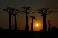 Baobab (Nitekite) Tags: sunset sun canon madagascar baobab baobabs madagaskar affenbrotbaum cmwd cmwdorange nitekite baobaballee affenbrotbume