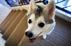 Pepper in Wide Angle (BexRx) Tags: dog miniature husky angle sony wide wideangle mini nex akk kleekai miniaturehusky minihusky alaskankleekai nex5