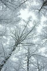 upright scenery (peaceful-jp-scenery) Tags: winter snow forest sony explore  snowshoeing nagano     togakushi     frostcoveredtrees dslra900 sal2470z  variosonnart2470mmf28za lakekagamiike