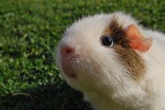 DSC_0045 (Sharpie314) Tags: green grass garden guinea pig cavy teddy