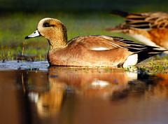American Wigeon is Enjoying Sunshine (Explored) (TOTORORO.RORO) Tags: park canada reflection bird nature lens mirror reflex bc britishcolumbia sony delta translucent marsh alpha 500mm f8 slt wetland americanwigeon reifelmigratorybirdsanctuary anasamericana mirrorlens greatervancouver a55 sal500f80