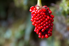 Red Corn (Fesapo) Tags: autumn red plant blur macro fall japan fruit canon temple prime shrine berries dof bokeh grow 7d vegetation shimane  aki hang izumo   gakuenji 135mmf2l