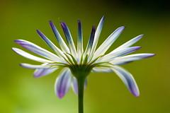 Stand tall and face the world (Deb Jones1) Tags: flowers green nature beauty canon garden botanical outdoors flora daisy flickrduel debjones1
