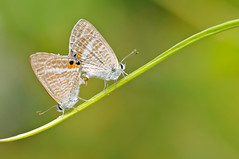 Long-tailed Blue () Tags: hongkong pentax eco k7 lampidesboeticus longtailedblue