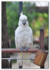 burung kakaktua/cockatoo (The PaPa of Qs) Tags: pet cockatoo burung kakatua kemaman kakaktua