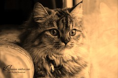 ❤ ❤نـظـرآآتـهـا (Aishah Abdullah) Tags: cat