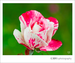 [EXPLORE] ( ()) Tags: macro rose 50mm bokeh olympus explore zuiko e30
