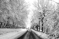 Viale innevato (b/w) ([francescomas]) Tags: alberi basilicata neve vulture nevicata lucania viale forenza inverno2012