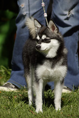 Mink (Alexandra Kimbrough) Tags: show california dog miniature husky mini front kai nordic claremont northern klee alaskan ukc conformation akk