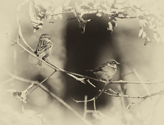 Male and Female Sparrow (Diane G. Zooms) Tags: nature birds sparrow housesparrow wildbirds itsawonderfulworld avianexcellence coth5 dragontaggerphoto pairsparrows maleandfemalesparrow
