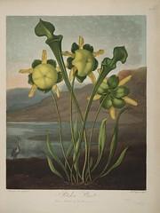 Anglų lietuvių žodynas. Žodis yellow pitcher plant reiškia geltonos spalvos ąsotis augalų lietuviškai.