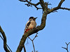 Not done a tap all day (Mr Grimesdale) Tags: woodpecker britishbirds greaterspottedwoodpecker stevewallace mrgrimesdale