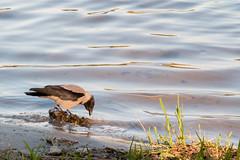 in der Abendsonne (Sonne 2208) Tags: see wasser neugier spiegelbild krhe neugierig lehnitzsee