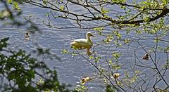Mum and Chicks (MWBee) Tags: duck warrington nikon cheshire ducklings d750 walton waltonreservoir mwbee