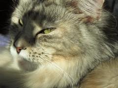 Miezi Grace Silvana ruht im Halbschatten (eagle1effi) Tags: pet cat mainecoon katze sooc sx60 germanysx60hscanonpowershotsx60hscanonbridgecamerabridgecameracanonpowershotsx60canonsx60powershotsx60sx60hseagle1effisx60hssxcanonsx60hs miezigracesilvana