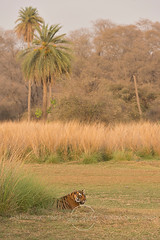 ADS_0000104348 (dickysingh) Tags: wildlife tiger tigers ranthambore indianwildlife ranthambhorenationalpark