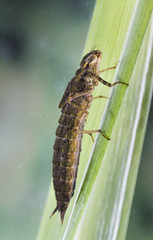 Brown Hawker Larvae (alone68) Tags: nature canon project garden dragonfly larvae