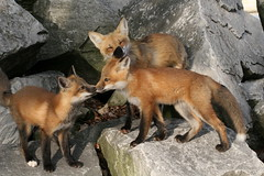 Fox Family (marylee.agnew) Tags: family red cute love nature animal outdoor young mother canine fox kit