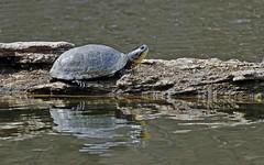 Threatened (Jeannine St. Amour) Tags: nature turtle wildlife threatenedspecies blandingsturtle