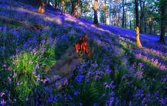 The Fallen (J McSporran) Tags: bluebells landscape scotland trossachs fallentree