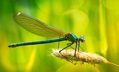 Dragonfly (Delbrücker) Tags: macro nature dragonfly bokeh natur makro libelle nikkor105mm nikond610