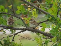 Chipping Sparrow, May 18, 2016 (gurdonark) Tags: park bird birds texas wildlife salmon sparrow chipping sachse