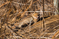 BNP_0956 (MartinGene) Tags: wild nature fox kits