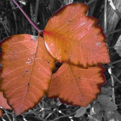 Its Coming (Lilo Cateyes) Tags: fall leaves