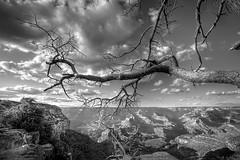 Canyon Tree (CameraOne) Tags: arizona blackandwhite tree raw branch desert grandcanyon wideangle canon5d hdr photomatix cameraone canon1740mm