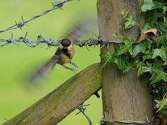 BORN - FREE (johnb/Derbys/UK) Tags: life trees summer colour bird nature birds fun freedom countryside interestingness nice interesting wings tit walk wildlife flight olympus tiny views bloom myworld lovely shape thelook magik ukbirds johnb