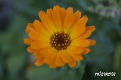 Naranja / Orange (teverMcFervienza) Tags: orange flower flor naranja natureplus