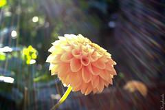 Million Rainbows (Haspharela) Tags: yellow licht flora natur pflanzen gelb blte kontrast farbe reflexion nahaufnahme stimmungsvoll farben leuchtend gegenlicht frisch gelbe lichtspiel dahlie sonnenlicht intensiv beschreibung strahlend blendend fantasticflower reflektieren glitzernd blumenundpflanzen farbenlicht spektrallicht