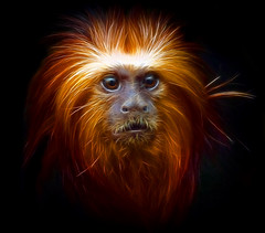 Fractal Primate Portrait (Steve Wilson - classic view please) Tags: uk greatbritain brazil portrait england black color colour macro cute southamerica nature beautiful beauty face animal gardens blackbackground america photoshop garden mammal zoo monkey golden miniature amazon nikon rainforest colorful cheshire britain head background wildlife south great conservation chester exotic jungle tropical plugin fractal colourful d200 captive primate mane headed captivity tamarin upton onblack chesterzoo zoological zoologicalgarden zoologicalgardens nikond200 miniaturemonkey liontamarin fractalius lioon caughall masterclasselite goldemheadedliontamarin