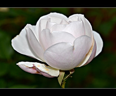 December Rose (Eleanor (WHU)) Tags: rose garden beautifulflowers floralfantasy flowersflowersflowers mixedflowers perfectpetals thethreeangels flowersarebeautiful betterthangood worldofflowers qualifiedmembersonly flickrsawesomeblossoms nikonflickraward gardenparadise addictedtoflowers weallloveflowers exquisitelygorgeousflowers anaturecanvas soullmans beautifulflowergroup flowers4you brigettesbeautifulnaturegallery rosesforeveryone bbng
