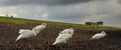Stormy Weather (Peet de Rouw) Tags: storm holland nature river swan swans maas meuse rozenburg zwaan rivier peet zwanen denachtdienst peetderouw