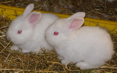 two lil white buns (ixchelbunny) Tags: pets cute rabbit bunny bunnies english fun fluffy spinning rabbits angora ixchel ixchelbunny