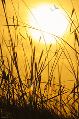 Golden sunset (-clicking-) Tags: sunset sun sunlight nature grass sunshine birds silhouette evening natural vietnam goldensunset goldenhour grassy honghn