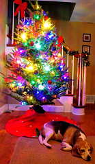 Sparky-Christmas-tree (Kevin Brautlacht) Tags: christmas tree beagle