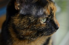 Contemplating... (Southern Depot) Tags: eye cat fur eyes furry kat soft serious whiskers kitteh ogen oog serieus zacht snorharen vacht miepje