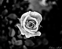 Ashen [Explored] (Edwin_Abedi) Tags: blackandwhite bw flower art monochrome rose closeup petals