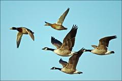 Flying United (Jeannot7) Tags: ontario bird geese mallard canadagoose brantacanadensis anasplatyrhynchos birdwatcher cobourg