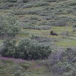 A resting bull moose thumbnail
