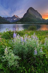 Summer in Glacier (pdxsafariguy) Tags: sunset summer moon mountain lake flower clouds nationalpark montana glacier wildflower lupine tomschwabel swiftcurrentlake manyglacier