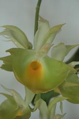 Catasetum pileatum Oro Verde_0014 (zet11) Tags: flowers orchid verde catasetum pileatum oro storczyki