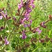"""Salvia pratensis L., Lamiaceae • <a style=""""font-size:0.8em;"""" href=""""http://www.flickr.com/photos/62152544@N00/6596758587/"""" target=""""_blank"""">View on Flickr</a>"""
