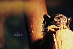 Little Monkey .. (    , ) Tags: nature animal canon zoo monkey little d 600 qatar   qtr   600d  ameera    amoora      blinkagain 600