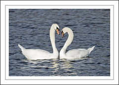 Love is (Fazer44) Tags: white lake love water birds canon swan wildlife lovebirds muteswans eos7d