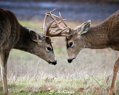 Locking Horns (S McKinzie / McKustoms) Tags: animals wildlife fighting bucks rut rutting oregonwildlife lockinghorns muledeerbuck