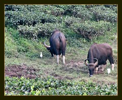 Bisons (Indianature t2v) Tags: india nature forest tea wildlife bison tamilnadu westernghats teaestate gaur valparai indiangaur bosgaurus indianature anamalais snonymous anamallais parryagro parryagroestate
