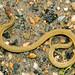 AHS 2006 Spring Field Trip / Redbelly Snake